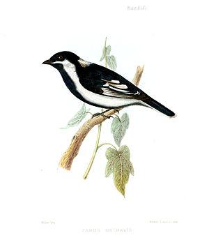 White-naped tit - From Jerdon's Illustrations of Indian Ornithology (1847)