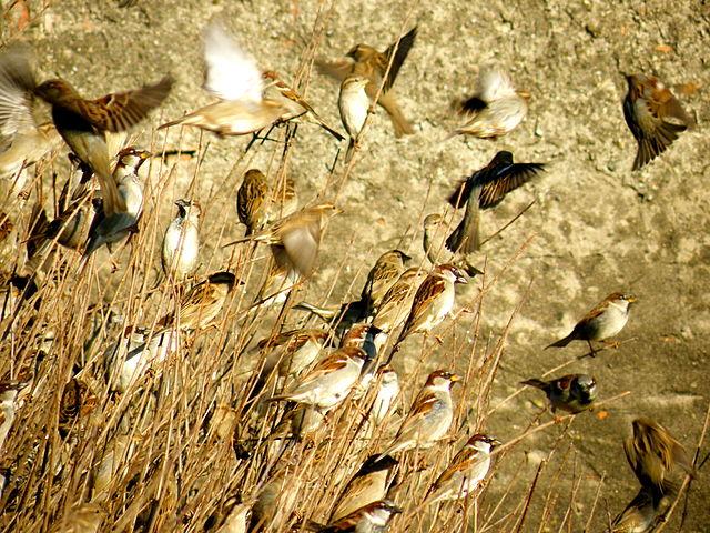 Populácia vrabcov