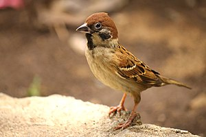 Eurasian tree sparrow - Subspecies of P. m. malaccensis in Manado, Indonesia