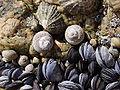 Patella lusitanica-Mytilus edulis-Monodonta lineata-Balanus balanoides.jpg