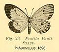 Pauli inAurivillius1898.jpg