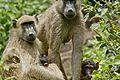Pavians in SA.jpg