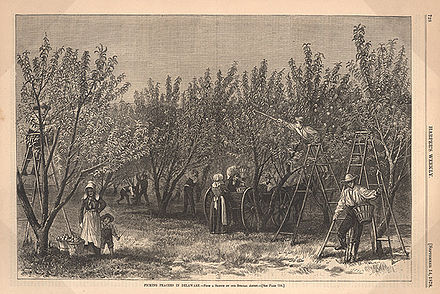 """Picking Peaches in Delaware"" from an 1878 issue of Harper's Weekly Peach delaware.jpg"
