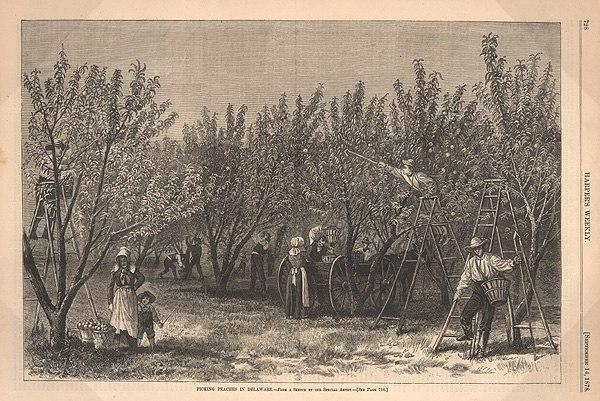Peach delaware
