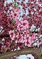 Peach flowers 2020 G1.jpg