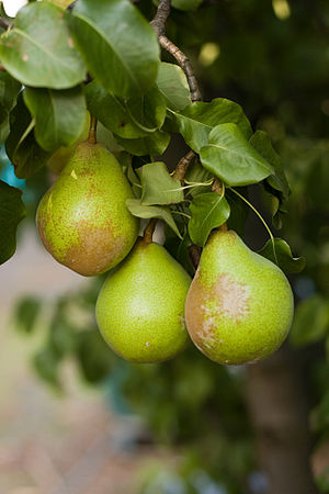 Pear on Tree 2