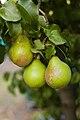 Pear on Tree 2.jpg