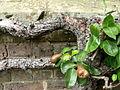 Pears (9276174252).jpg