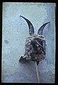 Pehtra iz Brnce 1956 - Stara maska iz Ziljske doline (3).jpg