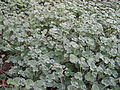 120px-PelargoniumSidoides.jpg