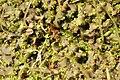 Pellia.epiphylla.-.lindsey.jpg