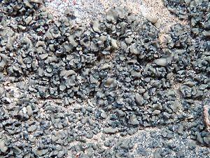 Peltula - Peltula euploca