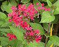 Pentas lanceolata red.jpg