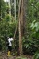 Perbandingan pohon dengan manusia di hutan Taman Nasional Bukit Tigapuluh, Jambi.jpg