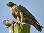 Peregrine Falcon with Kill.jpg