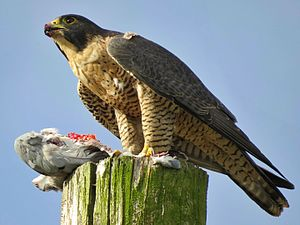 Peregrine falcon - Adult with prey in Santa Cruz, California