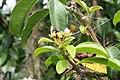 Pereskia grandifolia 40zz.jpg