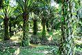 Perkebunan kelapa sawit milik rakyat (79).JPG