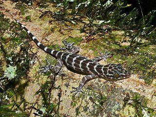<i>Cyrtodactylus consobrinus</i> species of reptile