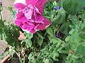 Petunia hybrida florepleno caprice-anna park-2-yercaud-salem-India.JPG