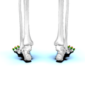 Phalanges of the foot03 posterior view.png