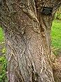 Phellodendron amurense var. amurense, Arnold Arboretum - IMG 6180.JPG