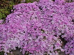 Wikipedia for Cespugli fioriti da giardino