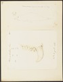 Phoca proboscidea - 1700-1880 - Print - Iconographia Zoologica - Special Collections University of Amsterdam - UBA01 IZ21100133.tif