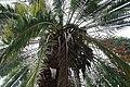 Phoenix reclinata X roebelenii 3zz.jpg