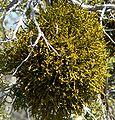 Phoradendron juniperinum 2.jpg