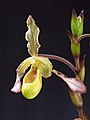 Phragmipedium sargentianum 'Really Red' x self (42179071402).jpg