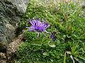 Phyteuma globulariifolium Kugelblumenb. Rapunzel.JPG