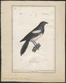 Pica caudata - 1842-1848 - Print - Iconographia Zoologica - Special Collections University of Amsterdam - UBA01 IZ15700179.tif