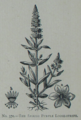 Picture Natural History - No 370 - The Spiked Purple Loose-strife.png