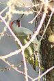 Picus viridis sharpei 054.jpg