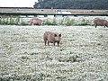 Pigs In daisies - geograph.org.uk - 1411091.jpg