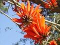 PikiWiki Israel 12096 erythrina blossom in tel aviv.jpg