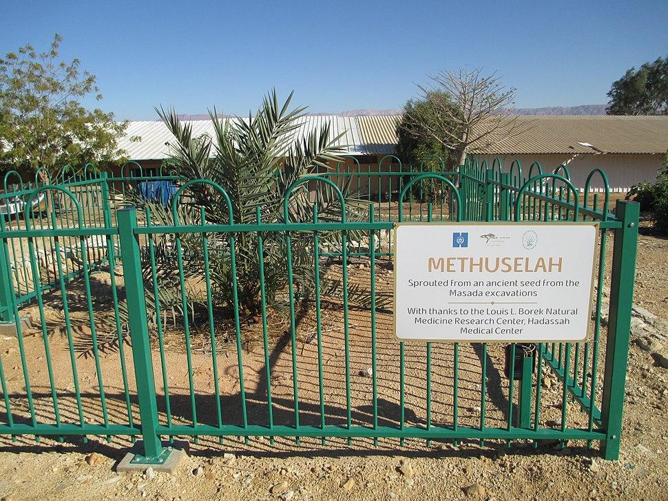 PikiWiki Israel 29317 Methuselah date palm from Massada ruines in kibbu