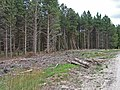 Pines in Langdale Forest - geograph.org.uk - 217953.jpg