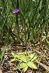 Pinguicula vulgaris 190507.jpg
