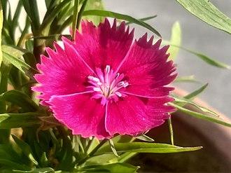 Dianthus barbatus - Image: Pink Sweet William