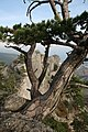 Pinus nigra Yalta 2.jpg