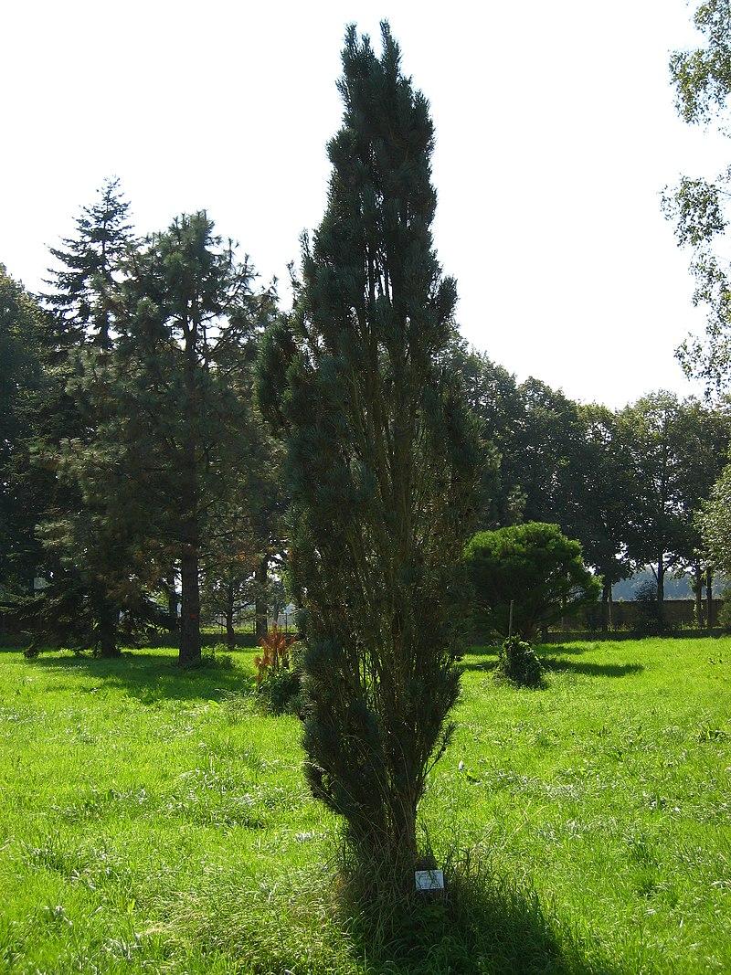 Pinus sylvestris %27fastigiata%27.jpg