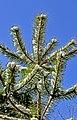 Pinus sylvestris - Gregorini Demetrio (15).jpg