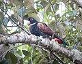 Pionus chalcopterus Cotorra oscura Bronze-winged Parrot (17008436999).jpg