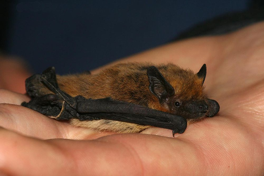The average litter size of a Kuhl's pipistrelle is 1