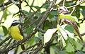Pitangus sulphuratus (2720059084).jpg