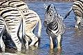 Plains Zebra Water 2019-07-28.jpg