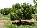 Plantação de pinhas.jpg