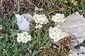Plants from Vallon peaks Sella 25.jpg